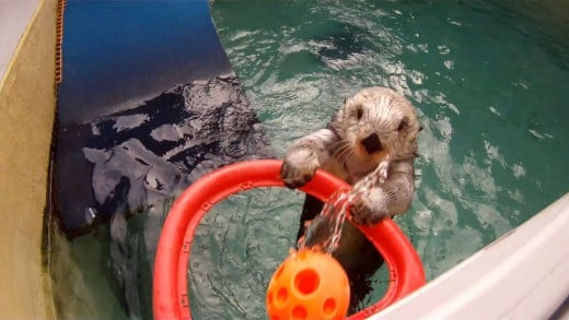 Eddie the sea otter dunking baskets at the Oregon Zoo.