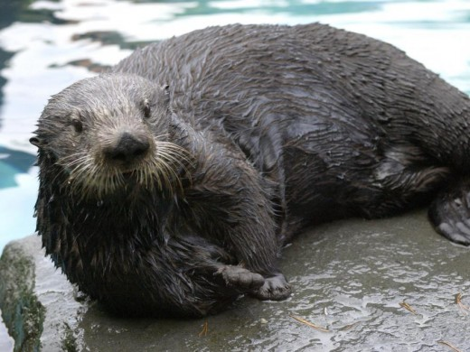 Sea otters were nearly hunted to extinction.