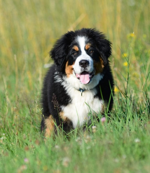 Giant dog breeds often die young, but there are things you can do to help.