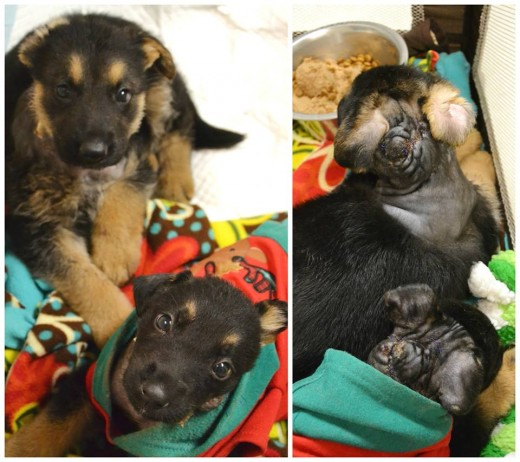 Two puppies who were badly injured and abandoned outside the Sacramento SPCA are recovering