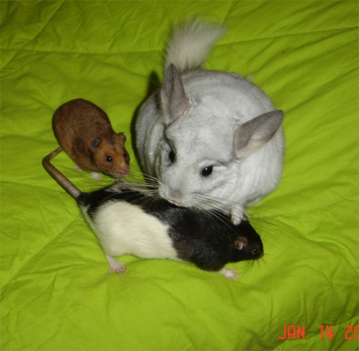 Zoe the Rat; Chiko the Chinchilla; Roxy the Hamster