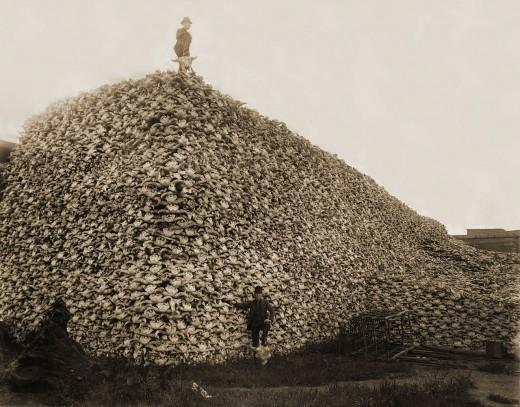Bison skulls to be ground up for fertilizer