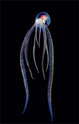 Definitely not an UFO, but this a kind of octopus that was dscovered few years ago. This thrives in the deepest depth of oceans where illuminescence is a common features of organisms living there.