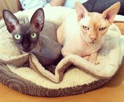 The Best  Litter For Your Sphinx Cat