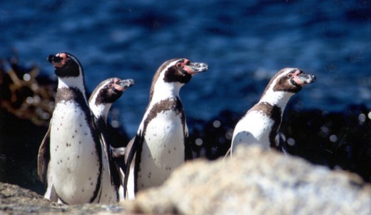 The Center for Biological Diversity estimates there are only about 3,300 Humboldt penguins living in the wild.