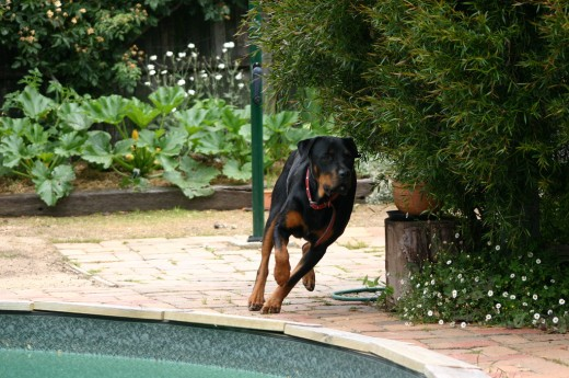Some dog breeds are genetically prone to cruciate injuries.