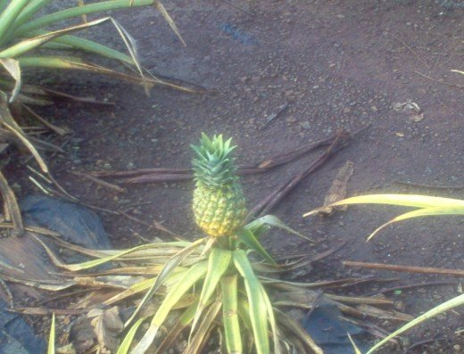 Pineapples do grow on the ground :)
