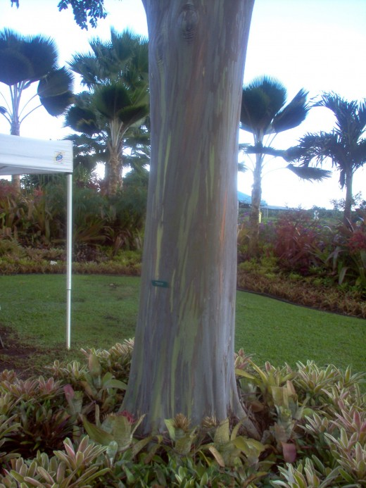 Eucalyptus tree, looks painted, but natural.