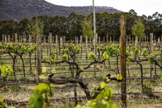 Margan's Vineyard