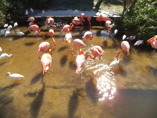 I don't see these in Central Florida, so took this flamingo photo at Gatorland.