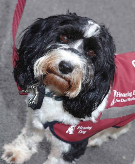 Matt looking smart in his canine service uniform. What a handsome dog!