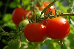 How to Grow & Care for Tomatoes