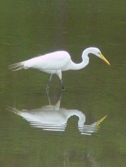 Great Egret (photo by Peregrin Monet)