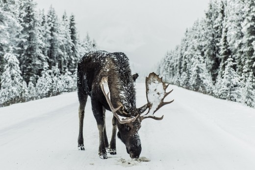 Moose and elk are totally at home in the snow.