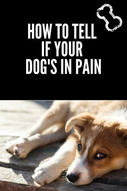 How to Know Your Dog is in Pain