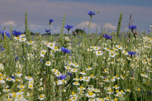 A field of Chamomile flowers with the common daisy and others. Can you tell the difference between the daisy and the Chamomile? There's no reward if you guess right, except a good night's sleep.