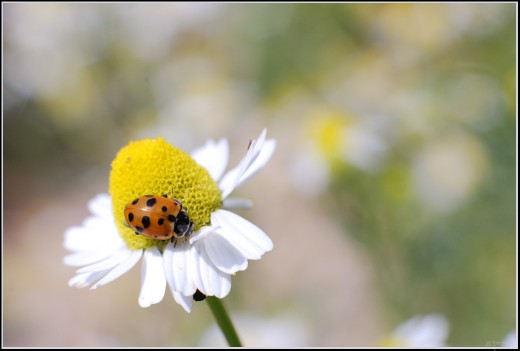 This is a lady bug pollinating a common daisy. Bet you thought this was a Chamomile flower, didn't you? Daisies and Chamomile can look almost identical.