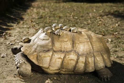 sulcata hatchlings on mother