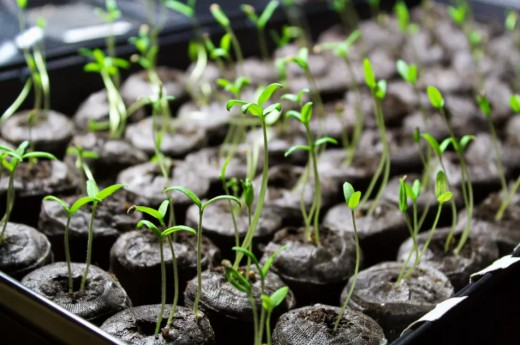 Tomato plant care: Learn how to plant tomato seeds, the best time to transplant tomato seedlings and a lot more.
