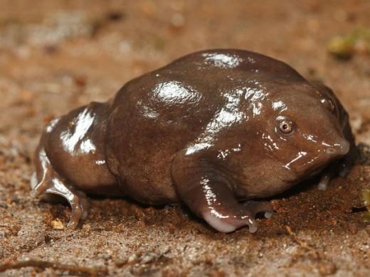 Pignose Frog