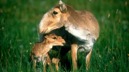 Saiga and calf