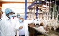 Chicken Value Chain: From Farm to Fork