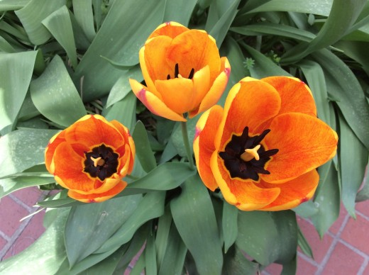 Tulips close their petals at night to protect their delicate centers.