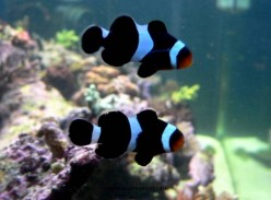 Amphiprion Ocellaris Variant. Exactly the same fish besides color. Expensive.