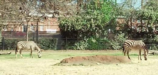 Zebras, Hattiesburg Zoo, Hattiesburg, MS