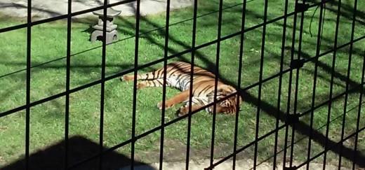 Sumatran Tiger, Hattiesburg Zoo, Hattiesburg, MS