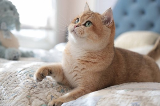 Golden British Shorthair
