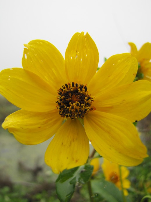I captured this unedited macro image of a small yellow flower at the Circle B Bar Reserve on foggy December 22, 2017. ©  2017