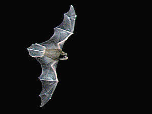 Asian Bent Winged Bat