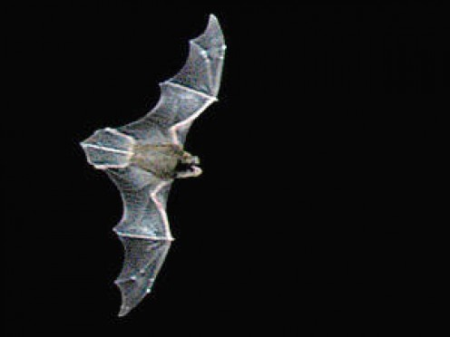 Asian Bent Winged Bat