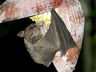 Nectar Bat feeding from banana nectar.