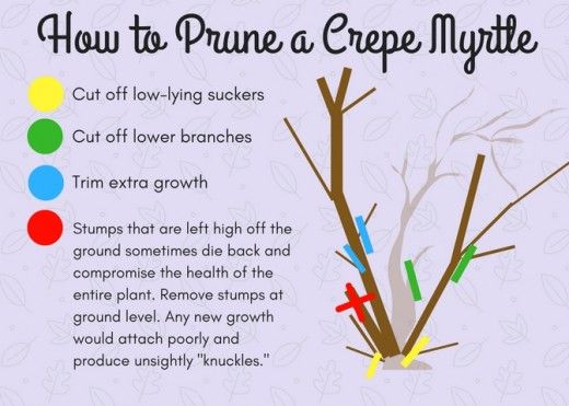 Crepe myrtles require careful pruning in order to prevent malformed growth.