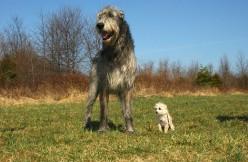 15 Names for Your Irish Wolfhound From Irish Mythology