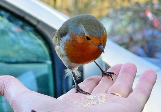 The European Robin has little fear of humans and their homes.