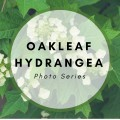 Garden Photos of the Oakleaf Hydrangea Plant