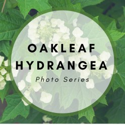 Garden Photos of the Oakleaf Hydrangea Plant