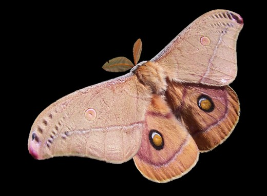 The beautiful emperor gum moth would make a lovely spirit guide!