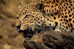 The Leopard plans an attack on Lt. Col. Benjamin Vandervoort