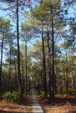 Pine trees growing in a pine wood.