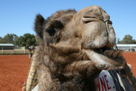 A Camel Chewing