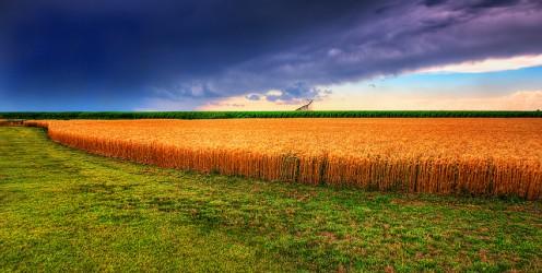 Kansas summer wheat.