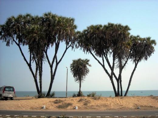 hoka trees