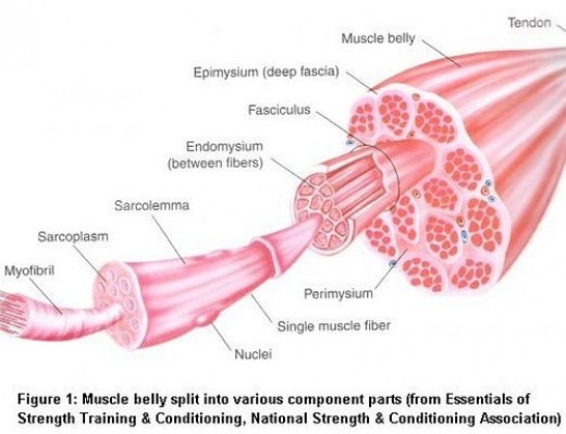 Anatomy of muscle fibers