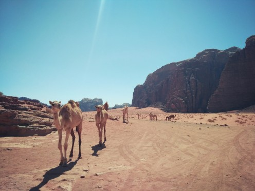 Camels crossing the desert at Wadi Rum