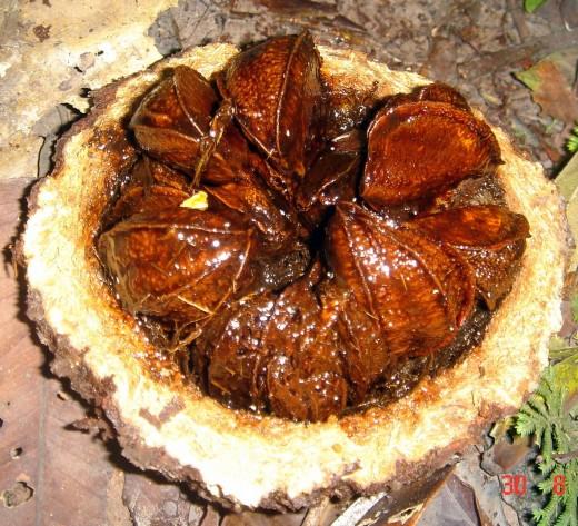 A Brazil Nut fruit freshly cut, revealing the Brazil 'Nuts' inside.
