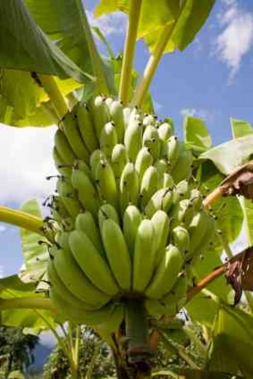 Banana's slowly ripening